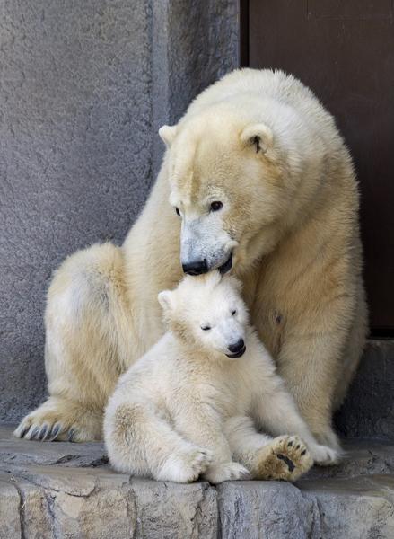 シロクマの母子/札幌円山動物園